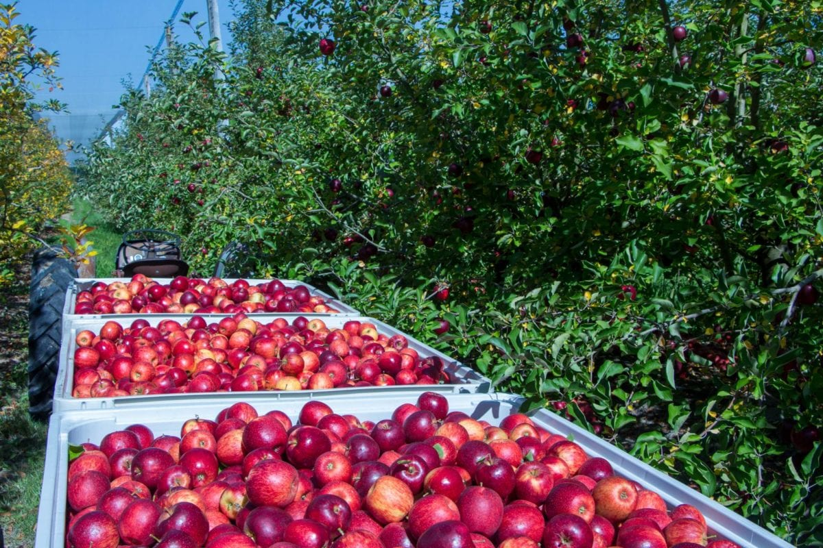 Full bins of freshly picked Jonagold apples in orchard.