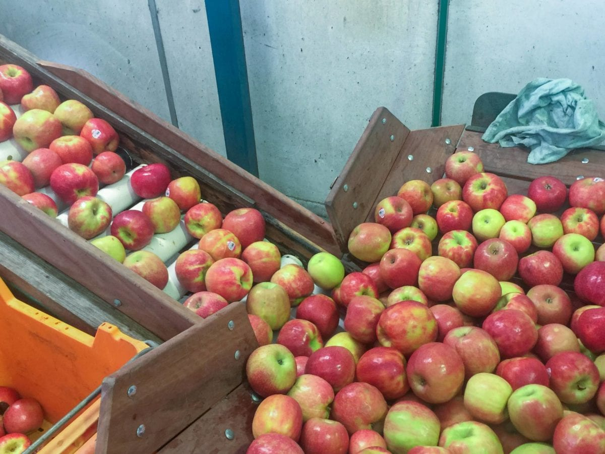 Quality check of the apples before being juiced